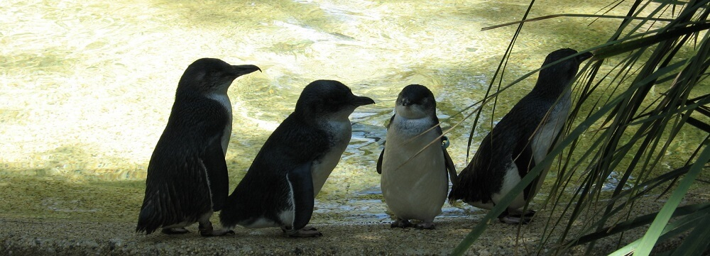 The Fascinating Habitat of Victoria's Little Penguins