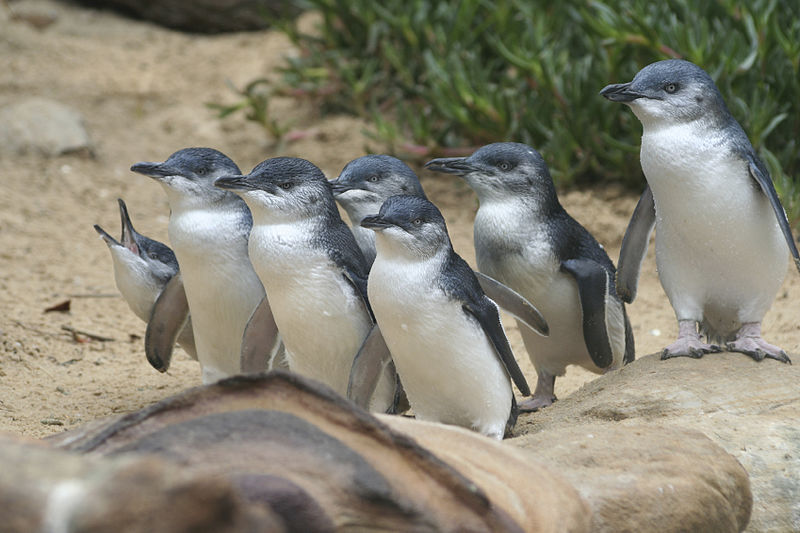 Why Do the Penguins Go to Phillip Island?
