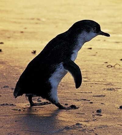 The Evening Penguin Parade Tour $105