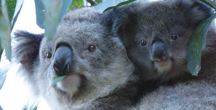 koala at maru wildlife park