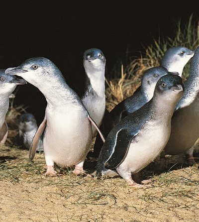 Phillip Island Penguin Parade Tour – Large Coach $108
