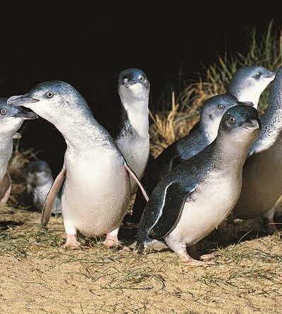 Phillip Island Penguin Parade Tour – Large Coach $108