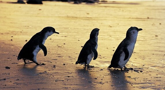 the phillip island penguin parade