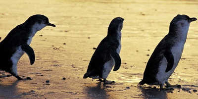 The Evening Penguin Parade Tour $105