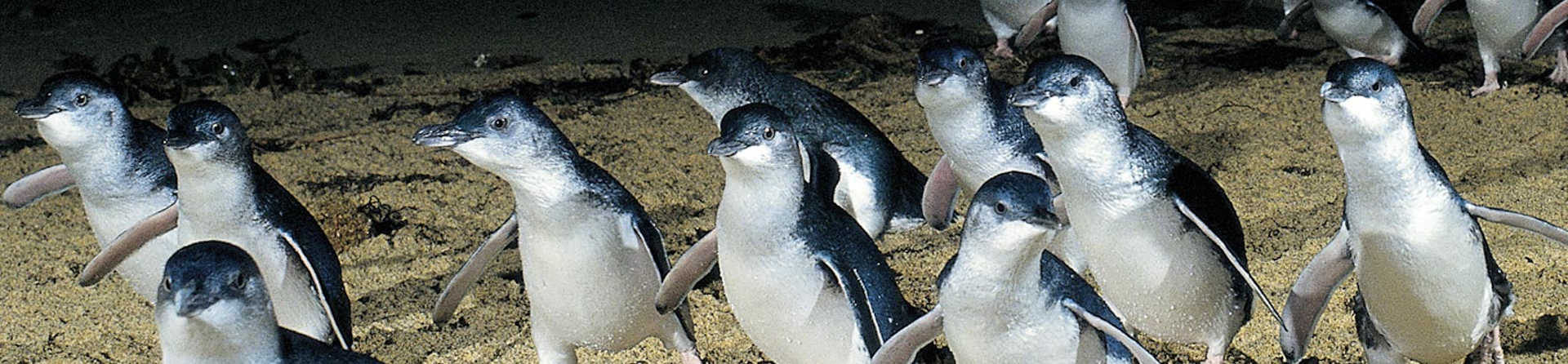 What time do the penguins come in at Phillip Island?