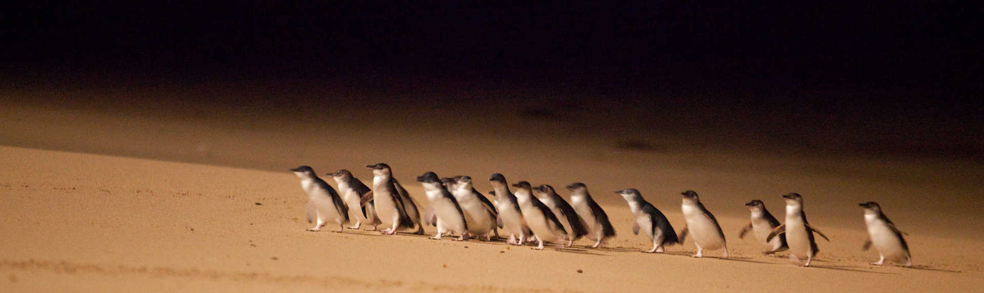 How long does the Penguin Parade last?